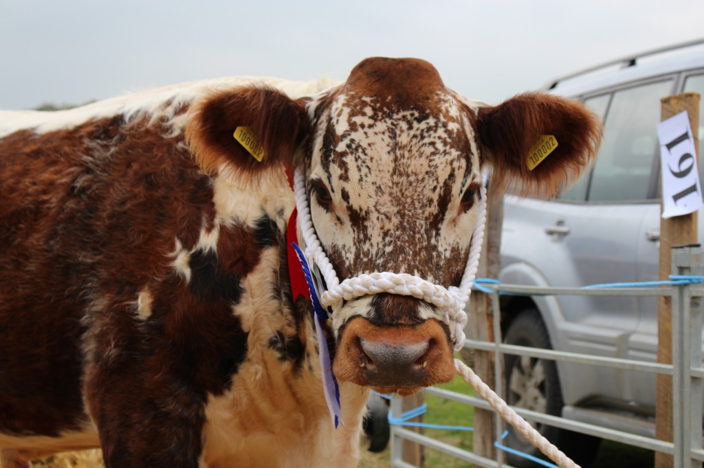 A fine Shorthorn bull from the livestock competitions