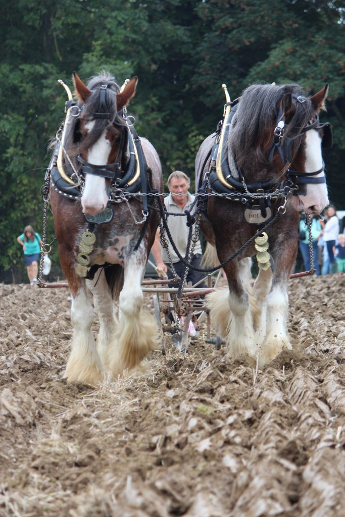 Ian Williams and his plough team in action